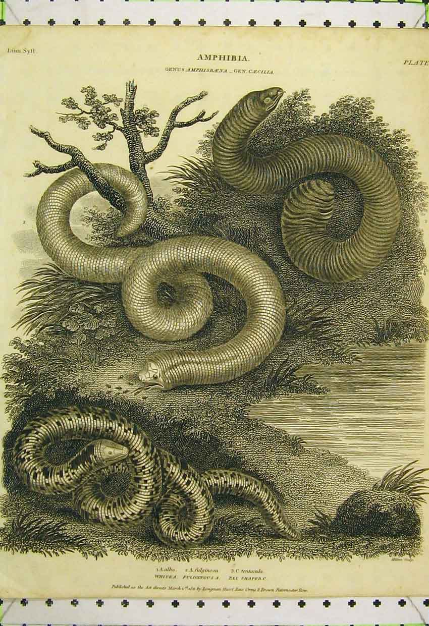 Print Amphibia 1811 White Snake Fuliginous Eel Shaped 567B316 Old Original