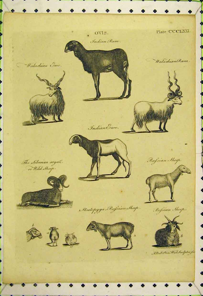 Print Indian Ram Ewe Sheep Russian Siberian Horns 569B316 Old Original