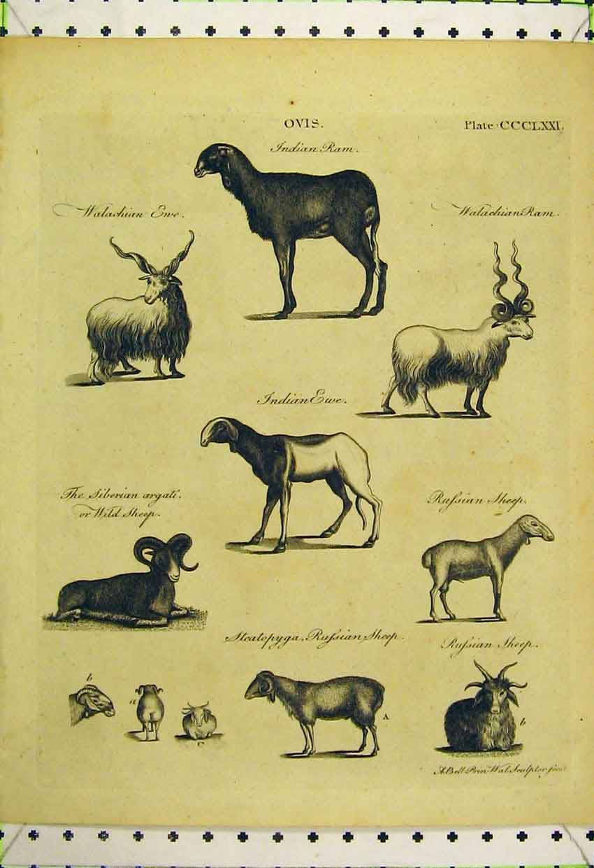 Print Indian Ram Sheep Ewe Siberian Wild Russian 571B316 Old Original