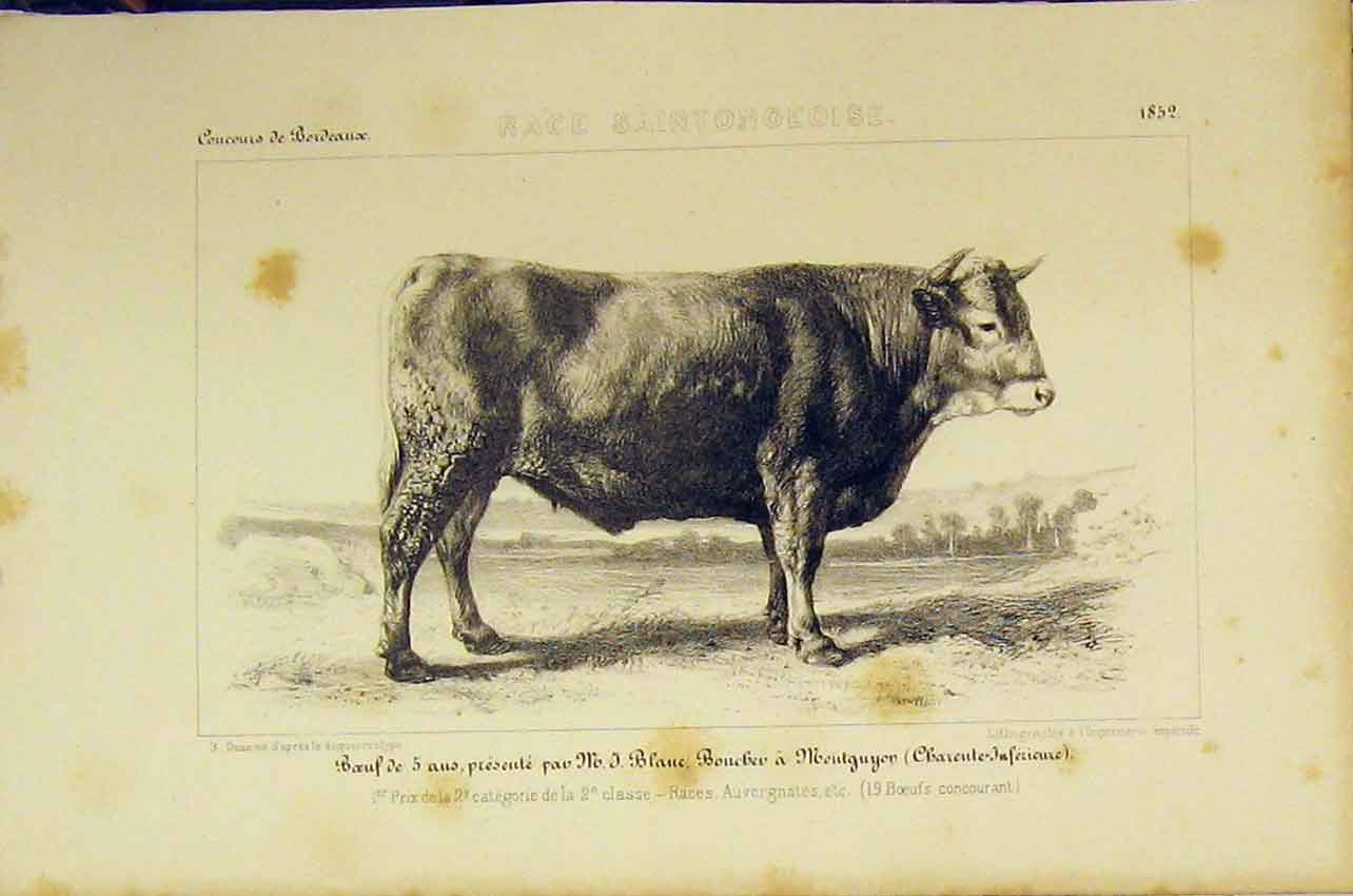 Print Race Saintongeoise Cattle C1850 French Lithograph 407B318 Old Original
