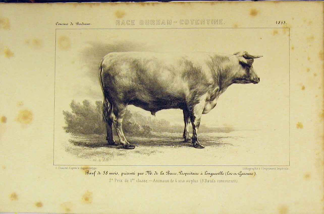 Print Race Durham-Cotentine C1850 French Lithograph Cattle 409B318 Old Original
