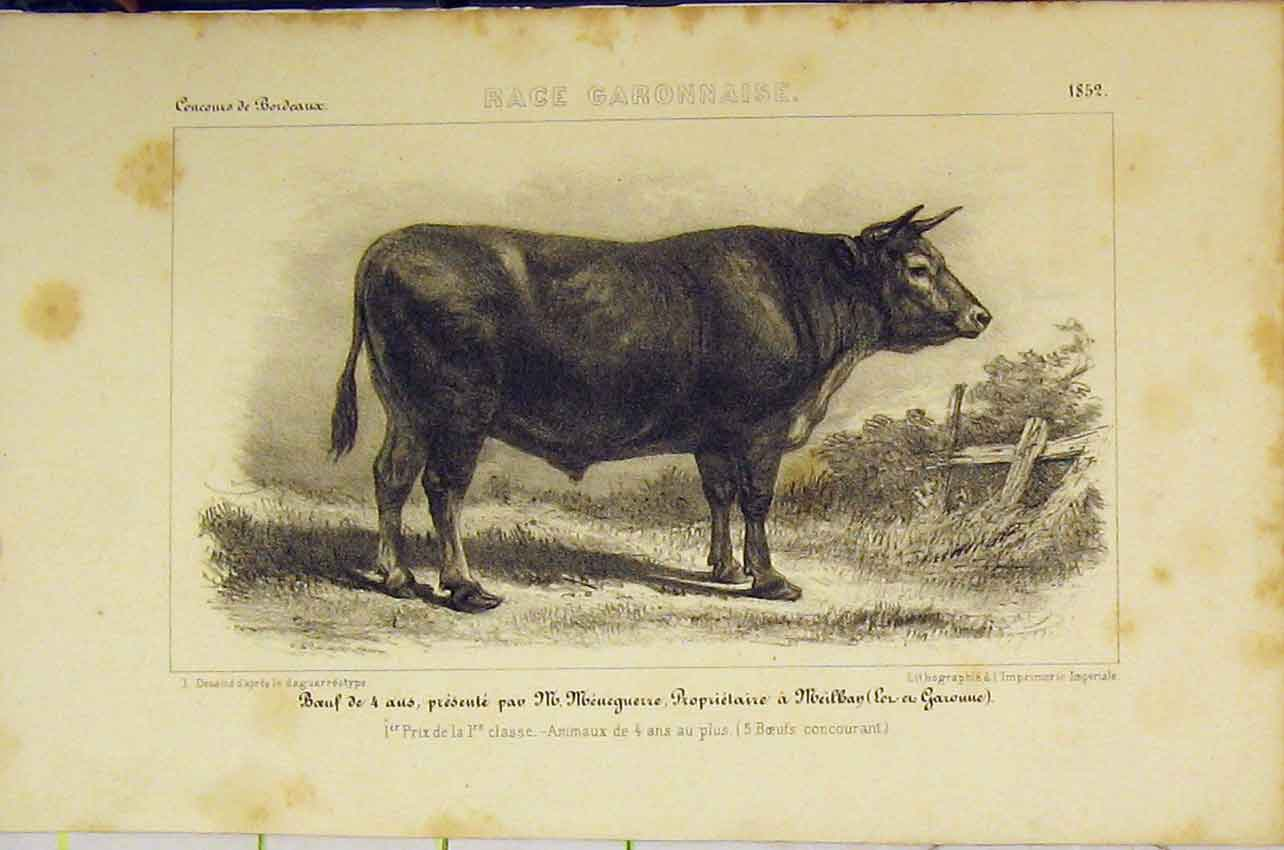 Print Race Garonnaise Cattle C1850 French Lithograph 410B318 Old Original