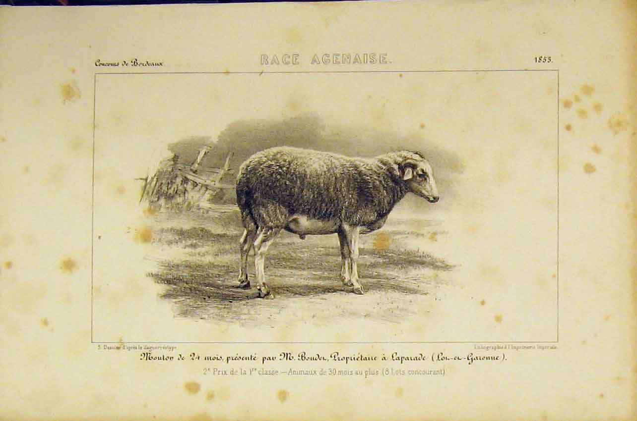 Print Race Agenaise Sheep C1850 French Lithograph 417B318 Old Original