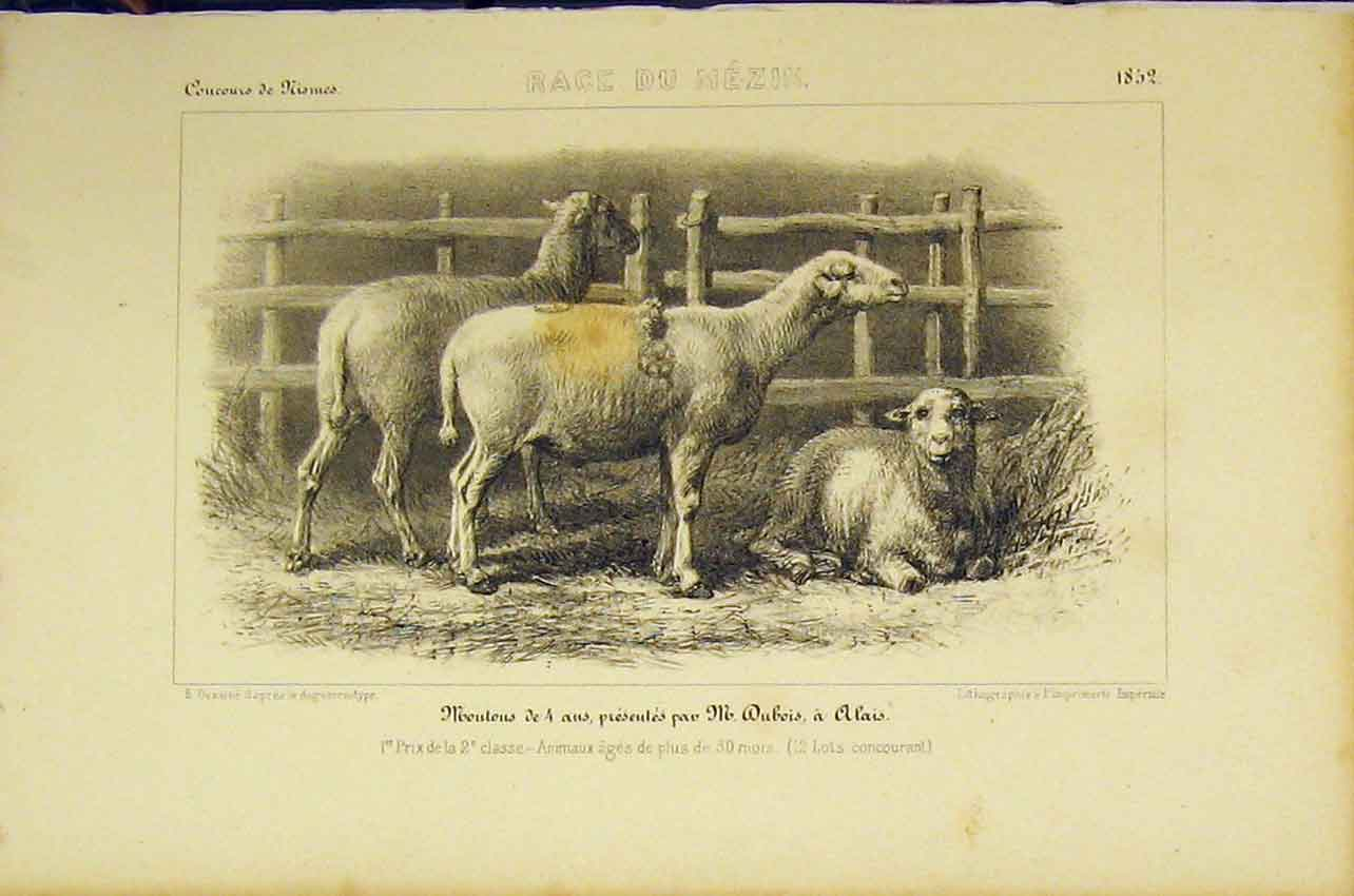 Print 1852 French Lithograph Sheep Race Du Mezin 420B318 Old Original