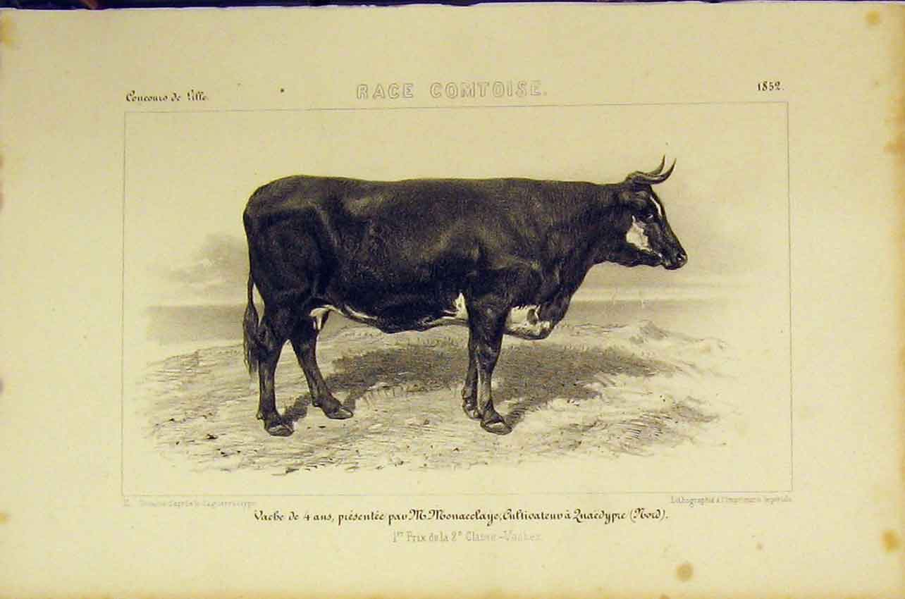 Print Race Comtoise Cattle 1852 Cattle French Lithograph 438B318 Old Original