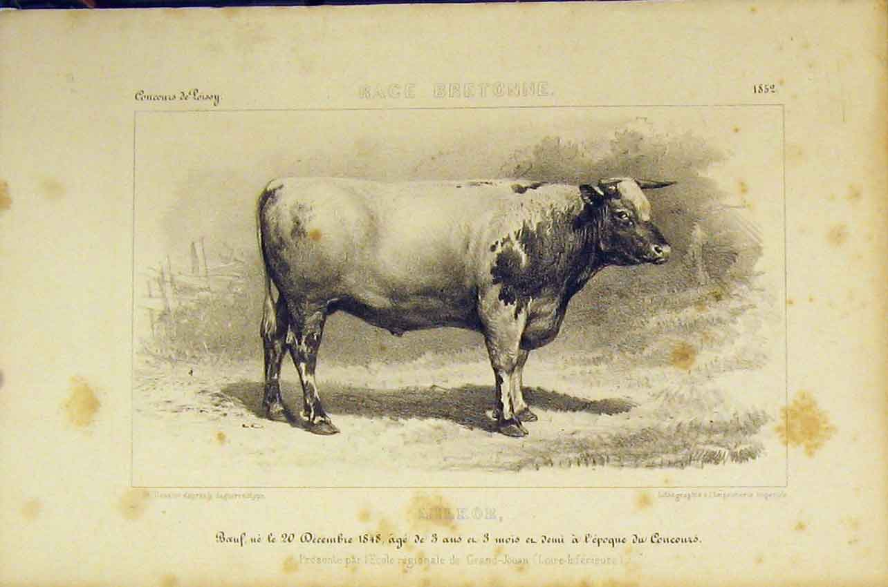 Print Race Bretonne Cattle 1852 French Lithograph 451B318 Old Original