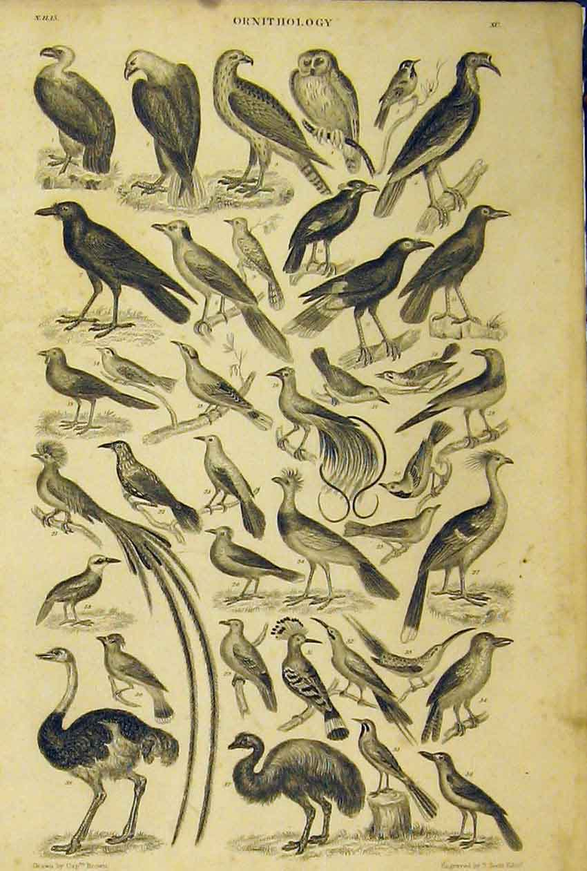 Print Ornithology C1860 Species Birds Animated Nature Scott 201B319 Old Original