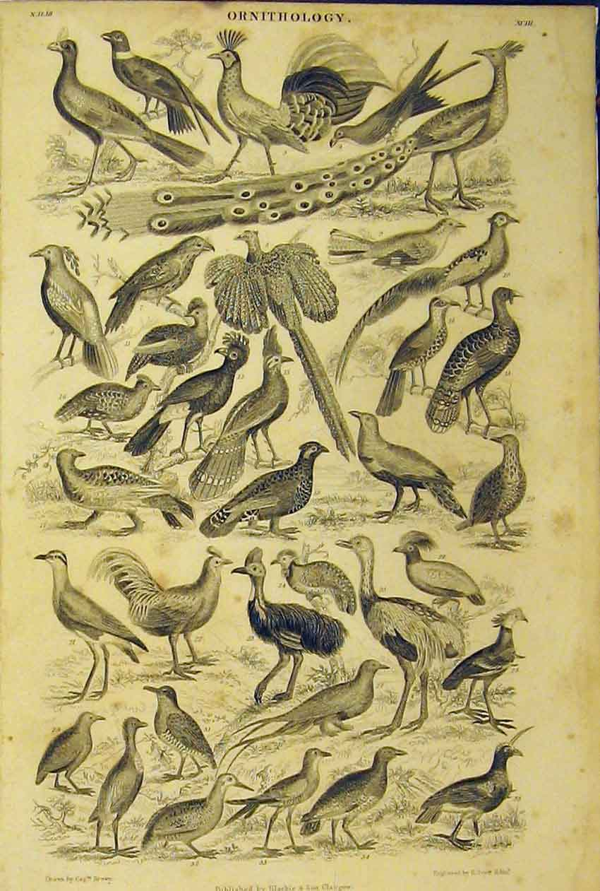 Print Ornithology Birds Species C1860 Animated Nature 204B319 Old Original