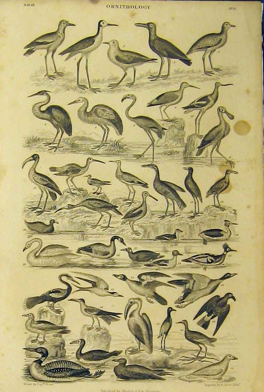 Print Species Birds Ornithology C1860 Animated Nature 205B319 Old Original
