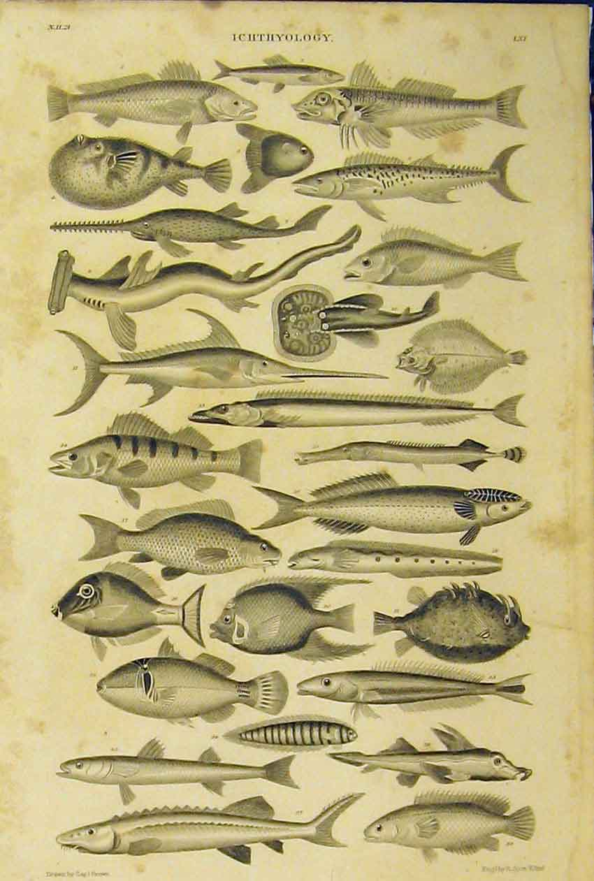 Print Ichthyology Fish Species C1860 Animated Nature 207B319 Old Original