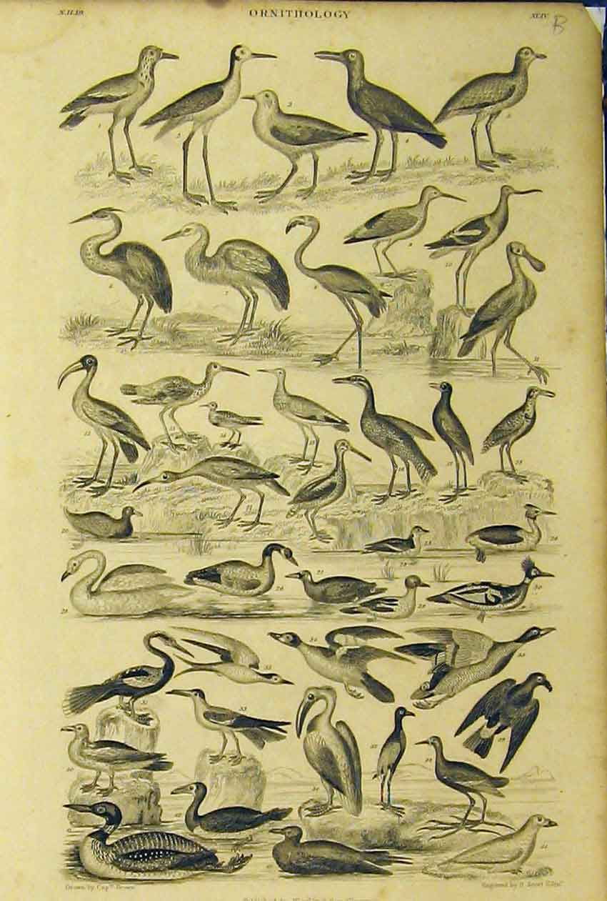 Print Ornithology C1860 Birds Species Animated Nature 232B319 Old Original
