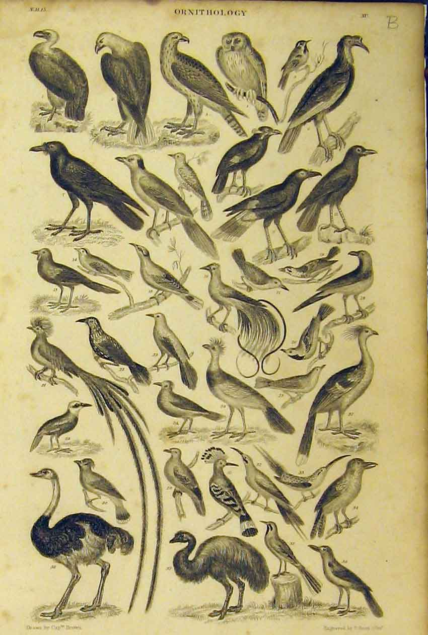 Print Ornithology C1860 Birds Emu Ostrich Animated Nature 265B319 Old Original