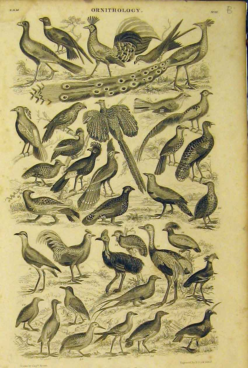 Print Ornithology Peacock Birds C1860 Animated Nature 267B319 Old Original