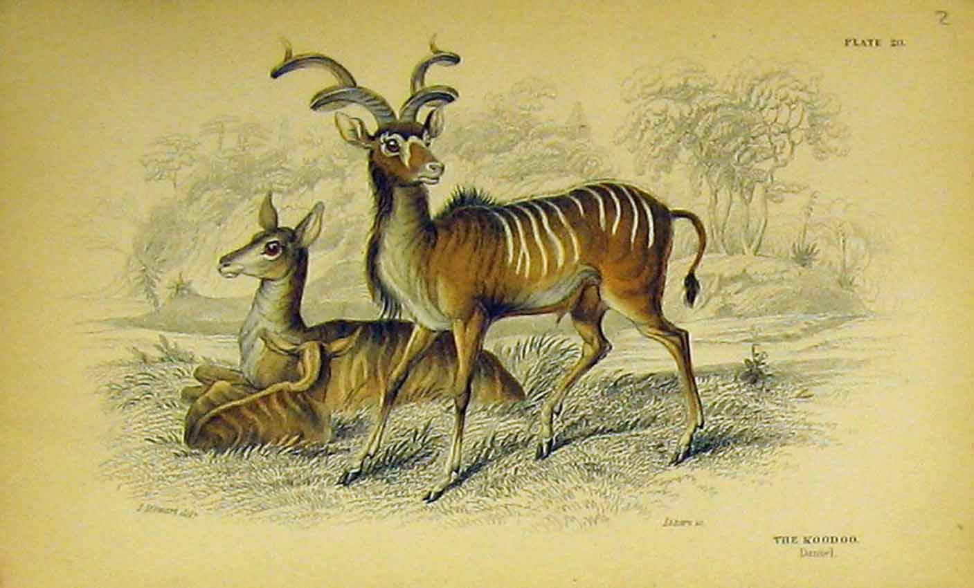 Print C1850 Hand Coloured Koodoo Animal 302B320 Old Original