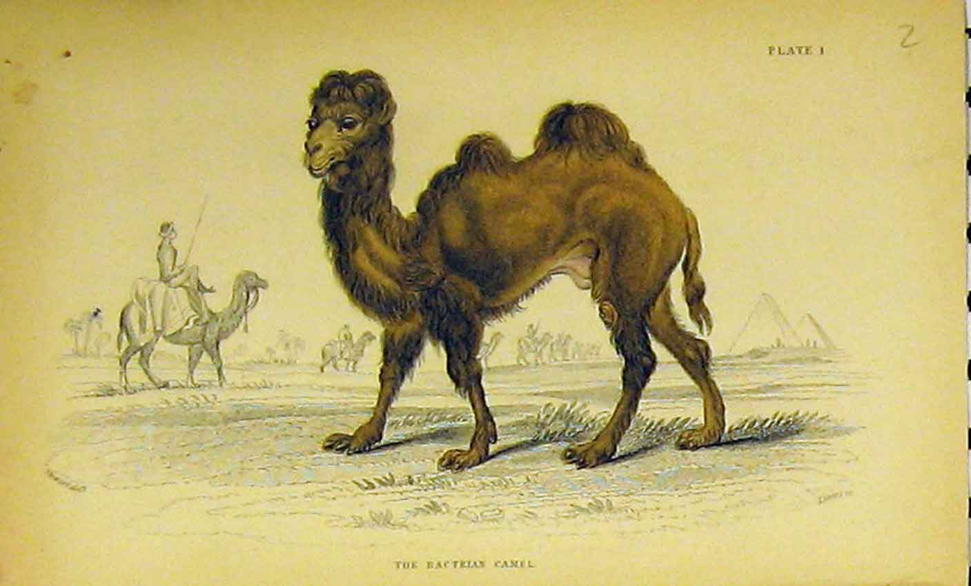 Print C1850 Hand Coloured Bactrian Camel Animal 307B320 Old Original