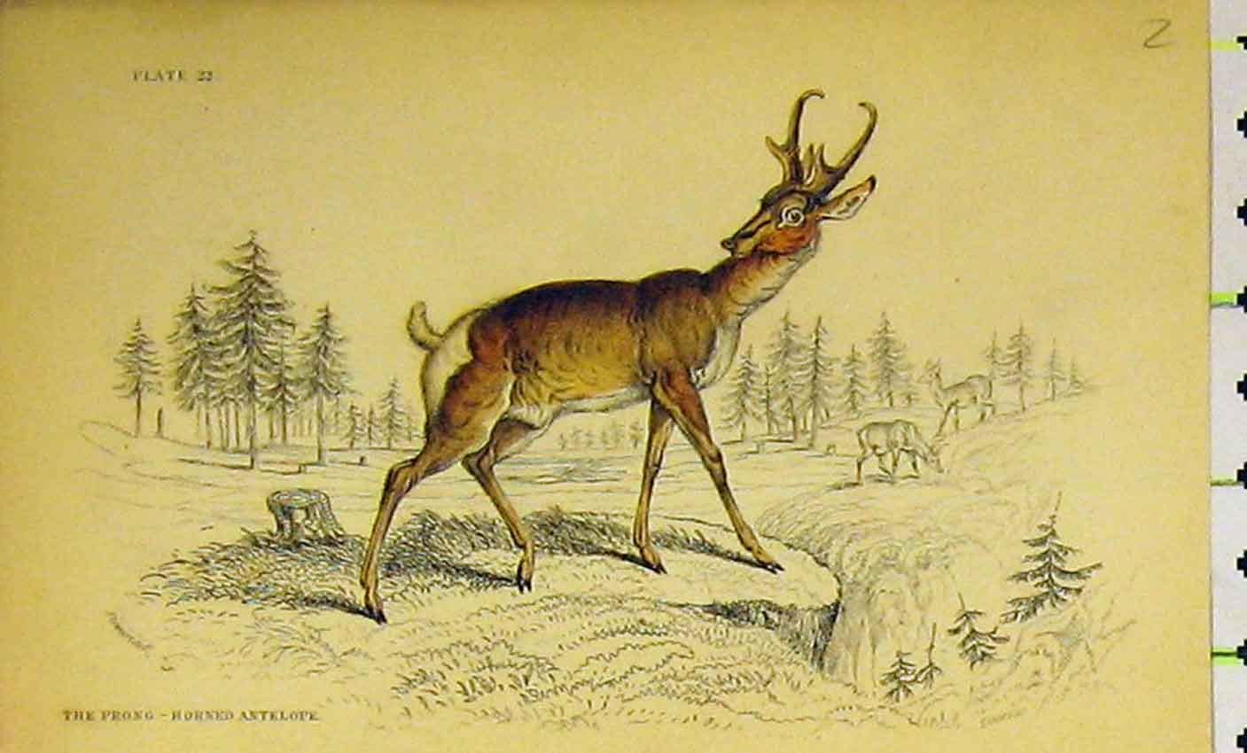 Print Prong-Horned Antelope C1850 Hand Coloured 312B320 Old Original