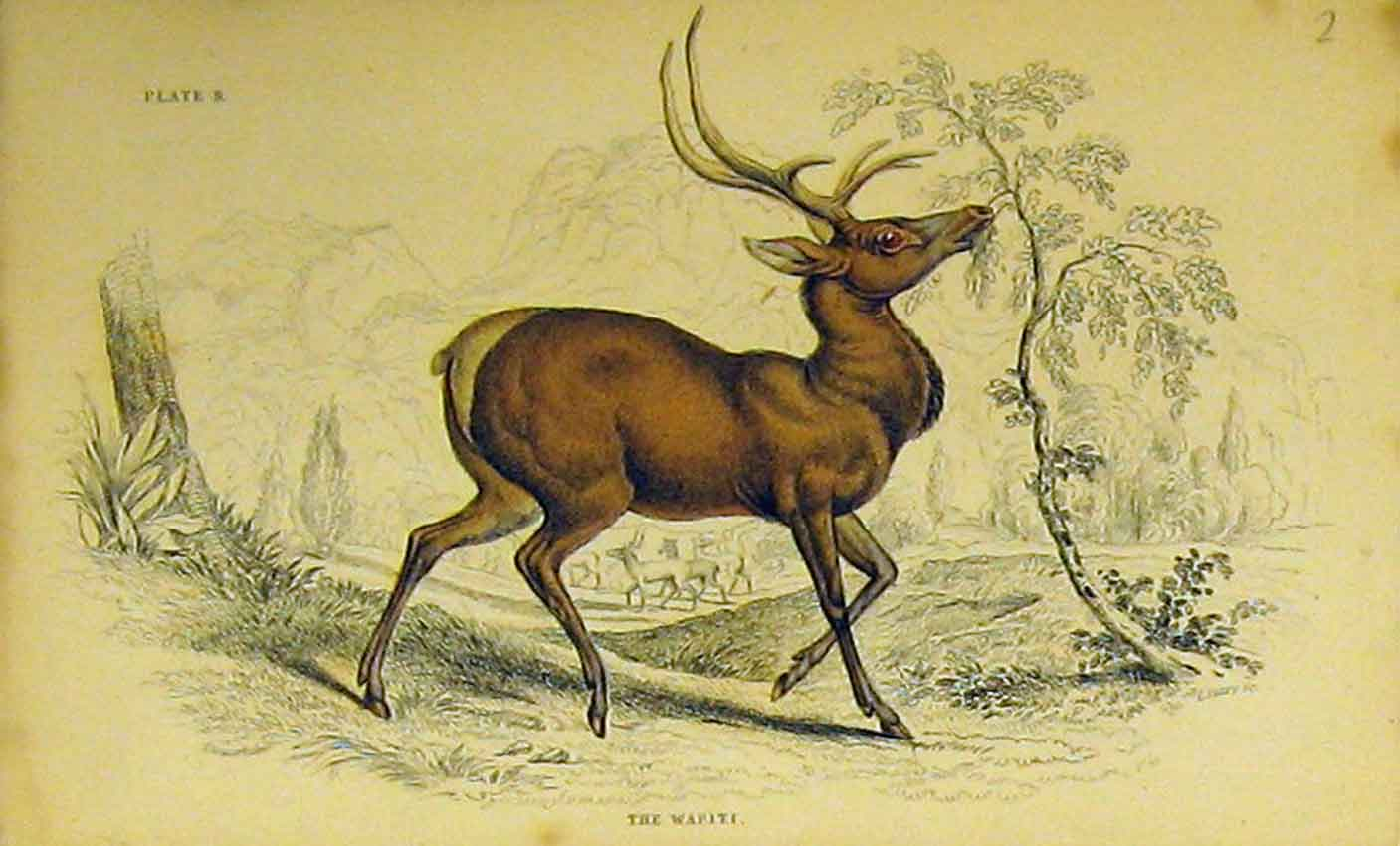 Print Wapiti Animal C1850 Hand Coloured 320B320 Old Original
