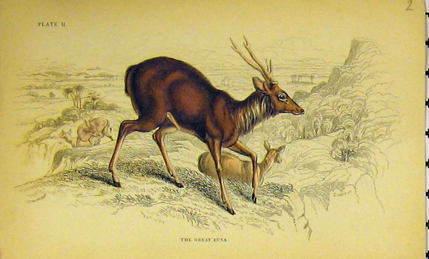 Print C1850 Great Rusa Animal Hand Coloured 321B320 Old Original