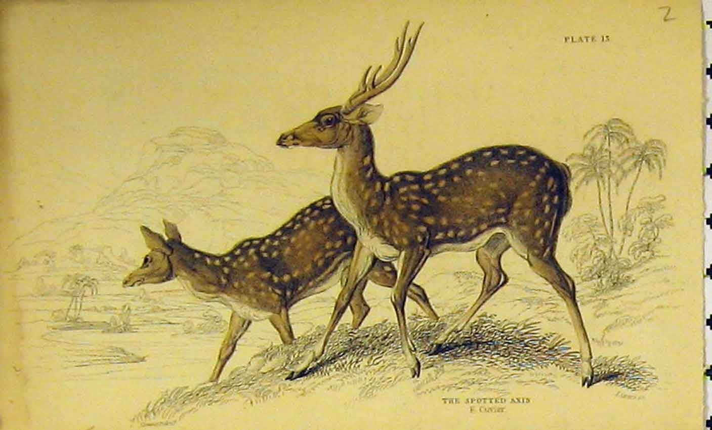 Print Spotted Axis C1850 Hand Colored Animal 323B320 Old Original