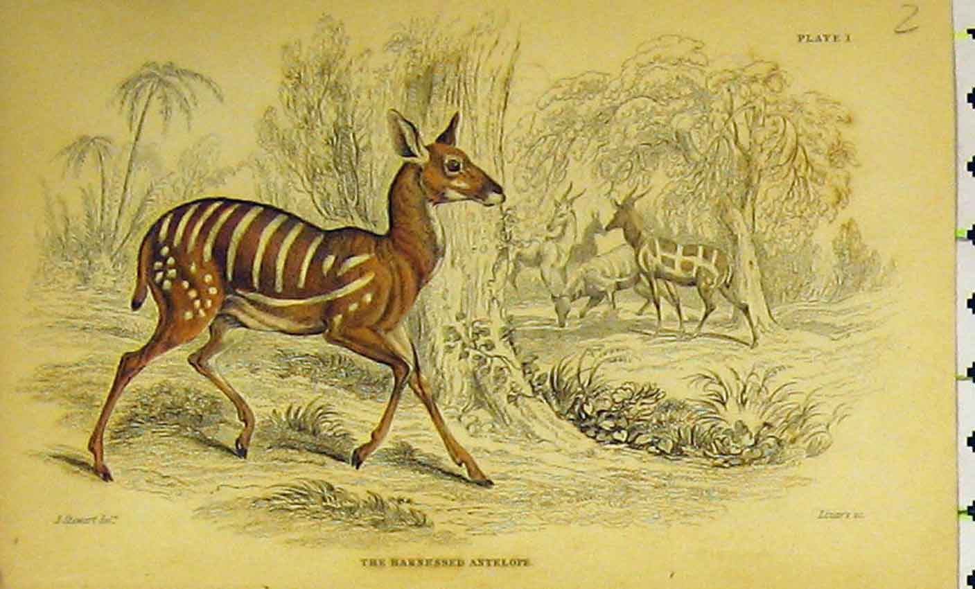 Print Harnessed Antelope C1850 Hand Coloured 333B320 Old Original