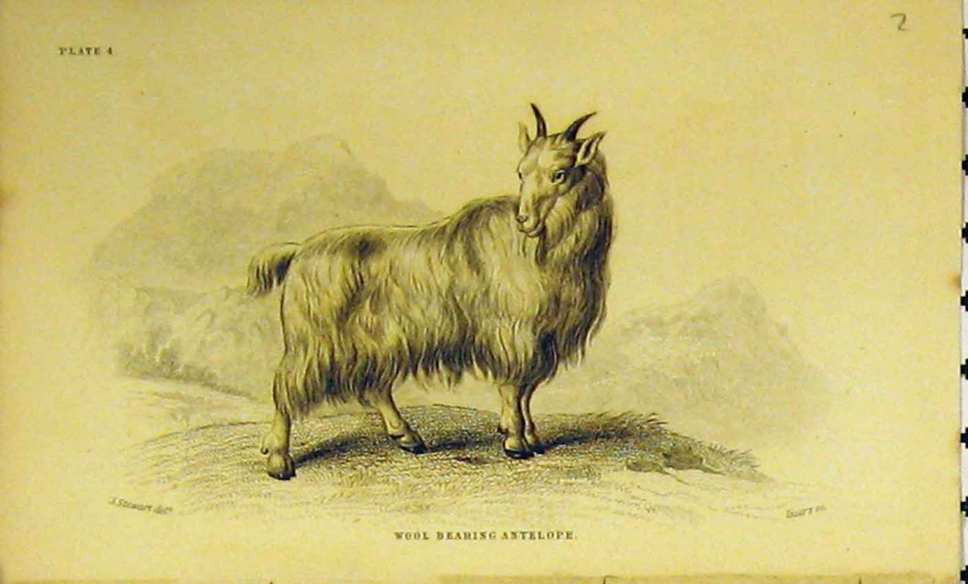 Print C1850 Wool Bearing Antelope Animal Hand Coloured 334B320 Old Original