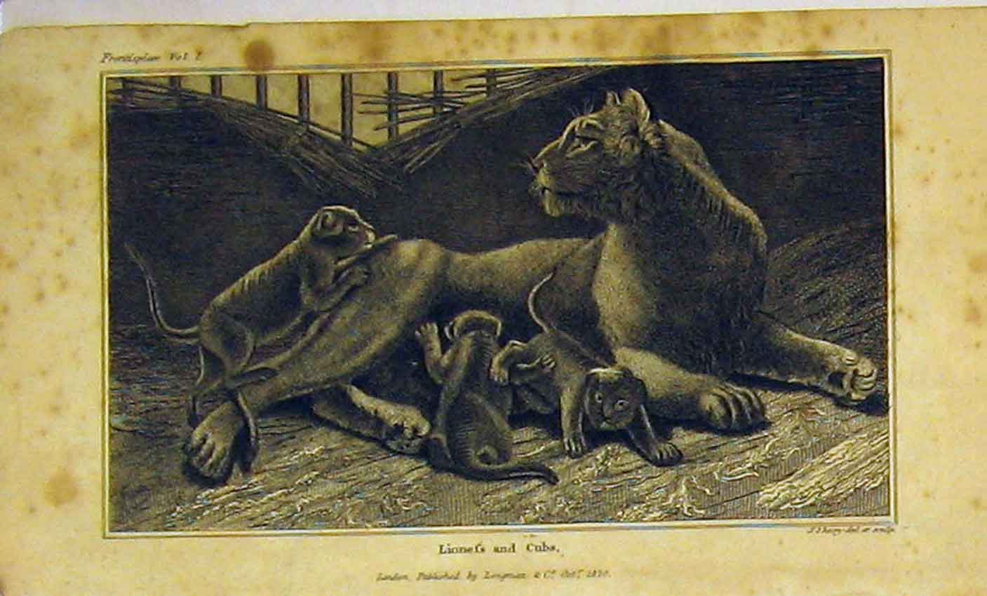 Print 1820 Lioness Cubs Dangerous Animals 342B320 Old Original
