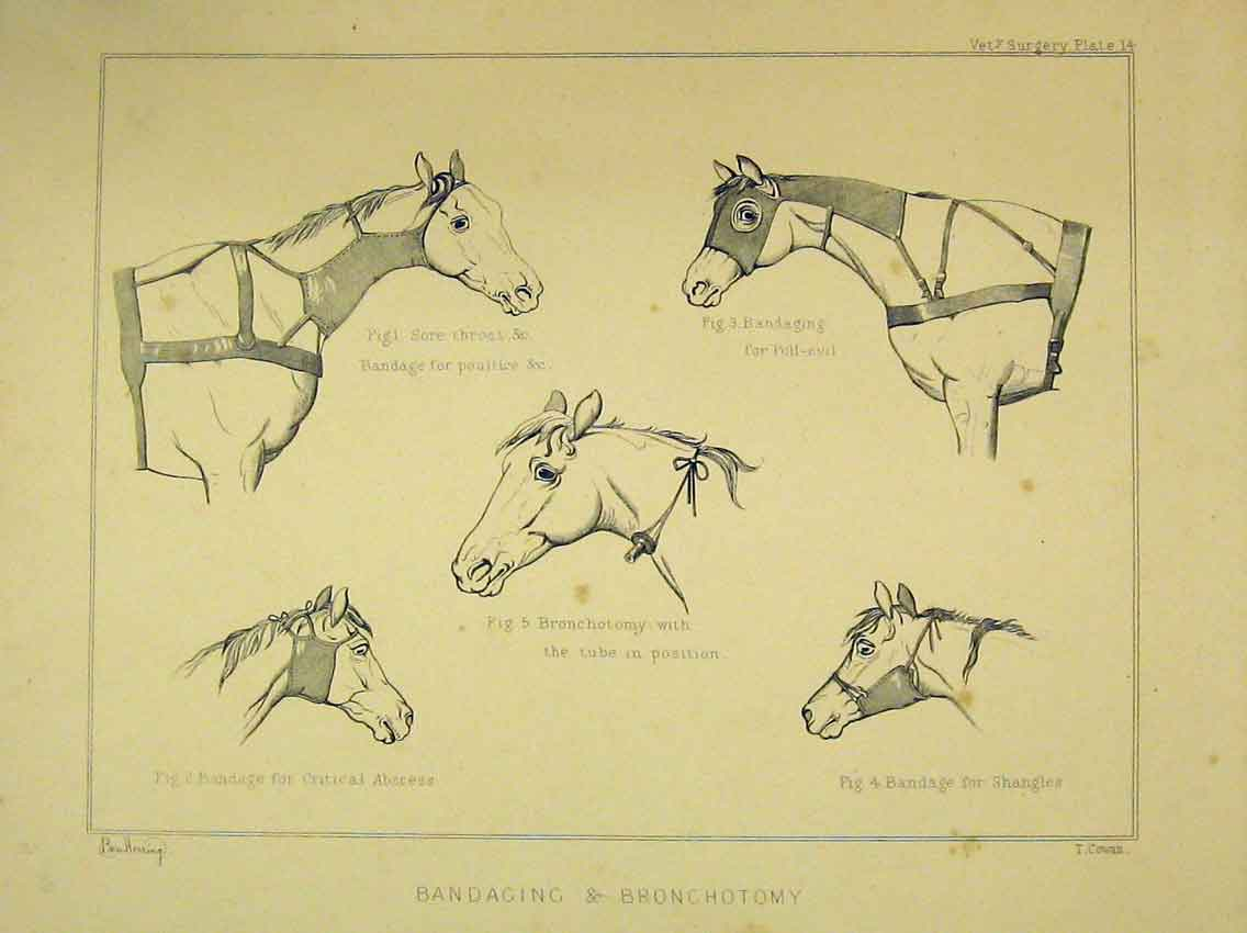 Print C1840 Horse Bandaging Bronchotomy Poultice Absecess 202B323 Old Original
