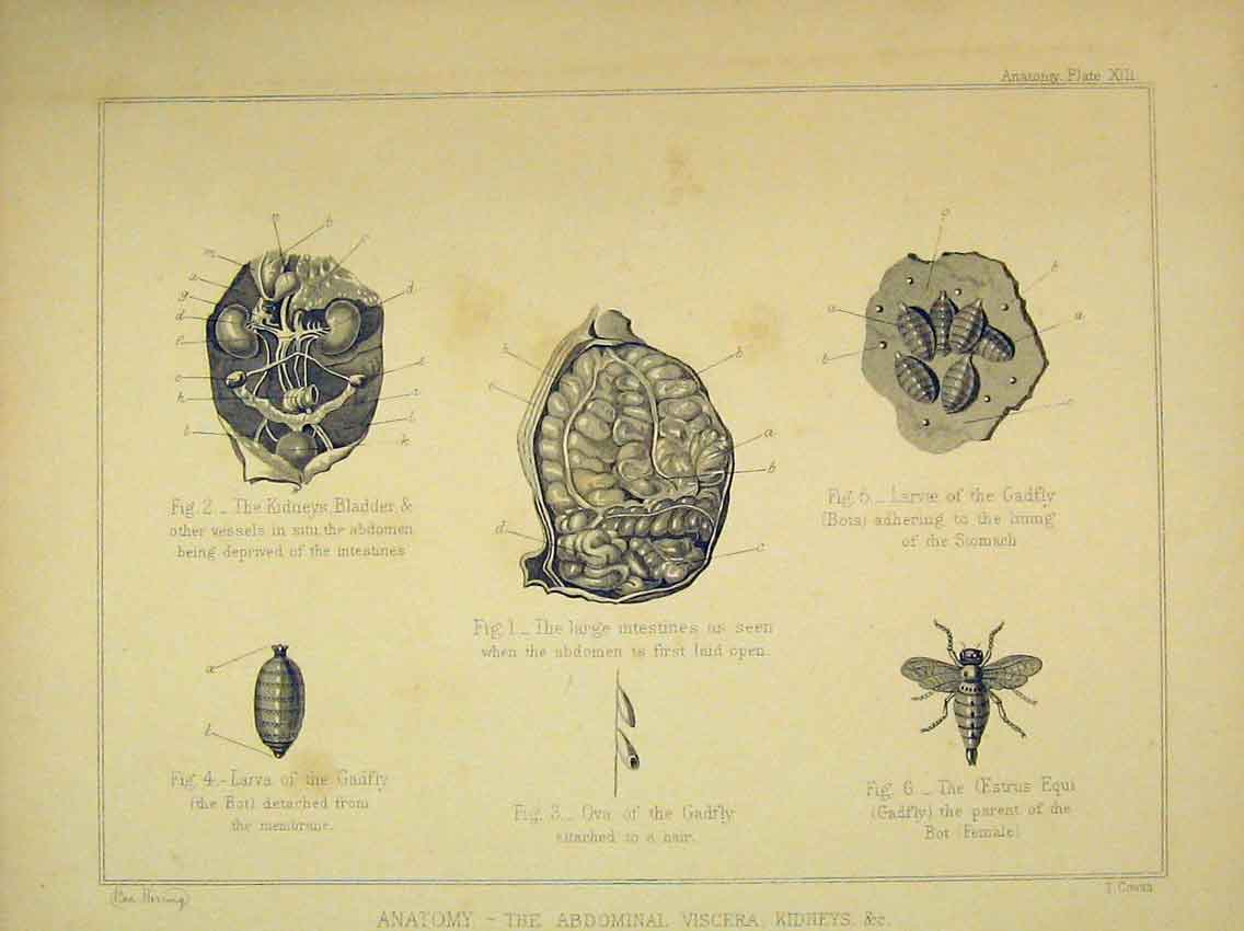Print C1840 Anatomy Horse Abdominal Viscera Kidneys Fly Ova 206B323 Old Original
