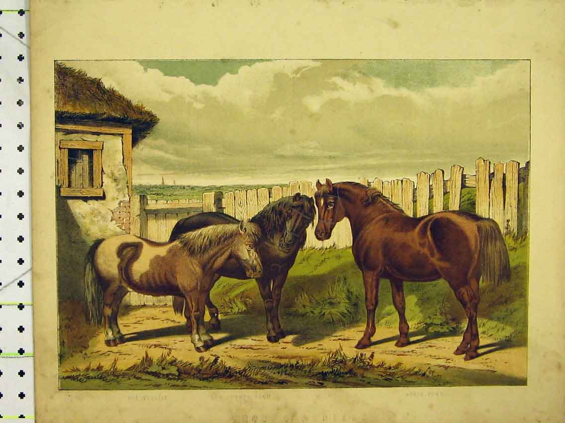 Print C1840 Colour Horses Sheltie Forest Pony Country 228B323 Old Original