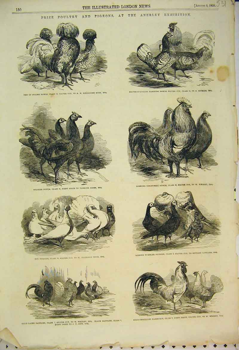 Print 1856 Prize Poultry Pigeons Anerley Exhibition Birds 531B353 Old Original