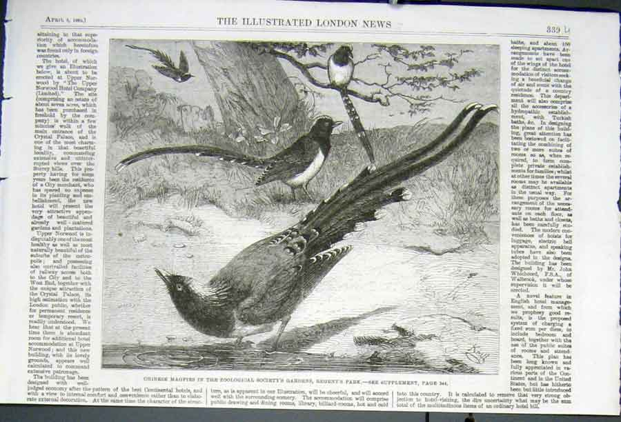Print Chinese Magpies Regents Park Zoo 1862 39Uaaa0 Old Original