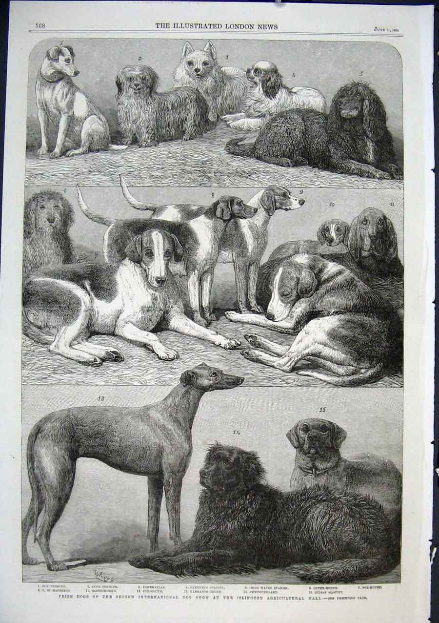 Print Prize Dogs Fox Sky Terriers Otter Blood Kangaroo Hound 68Aaa0 Old Original