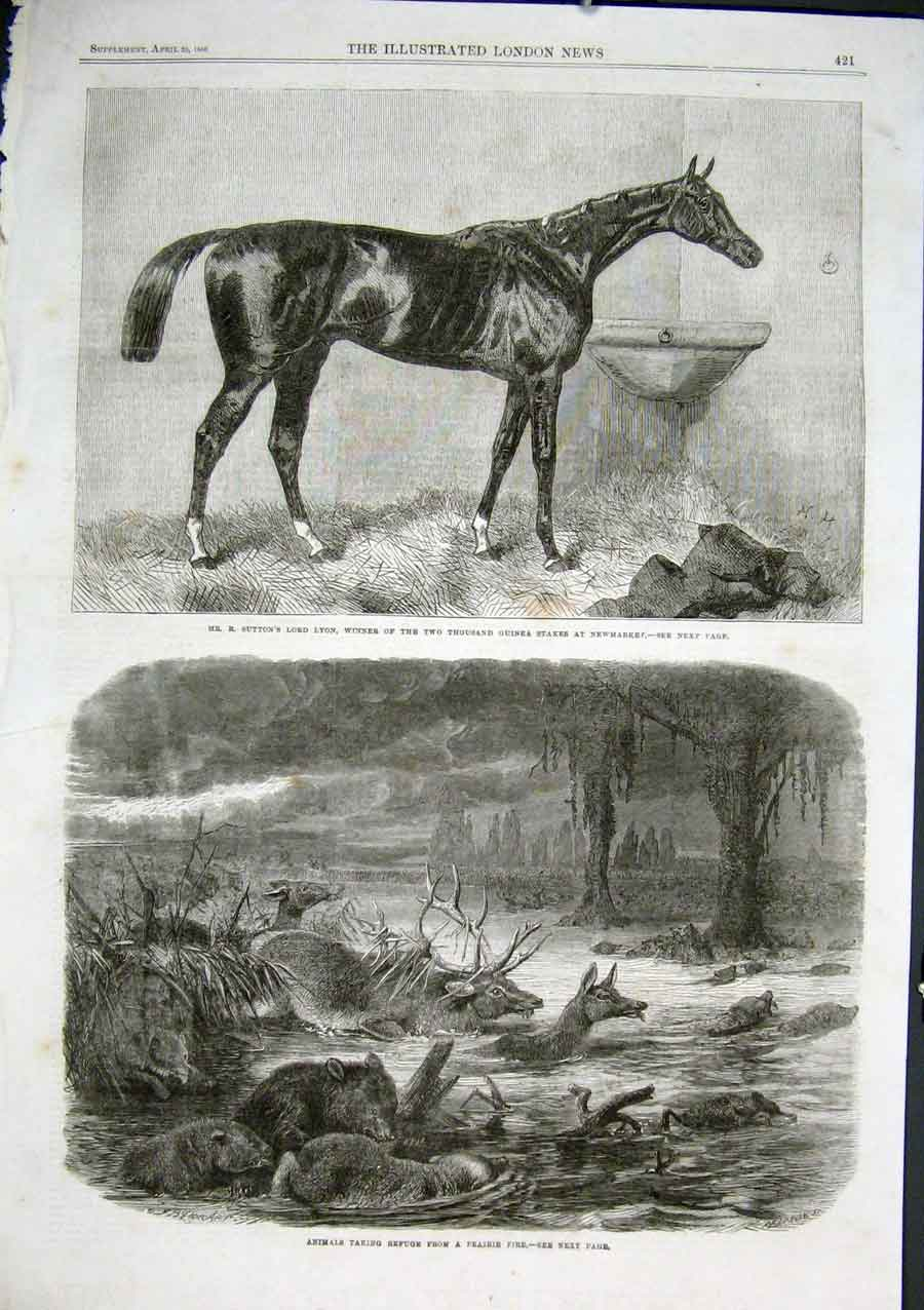 Print Lord Lyon Wins 2000Gns Newmarket Animals Flee Fire 21Aaa0 Old Original