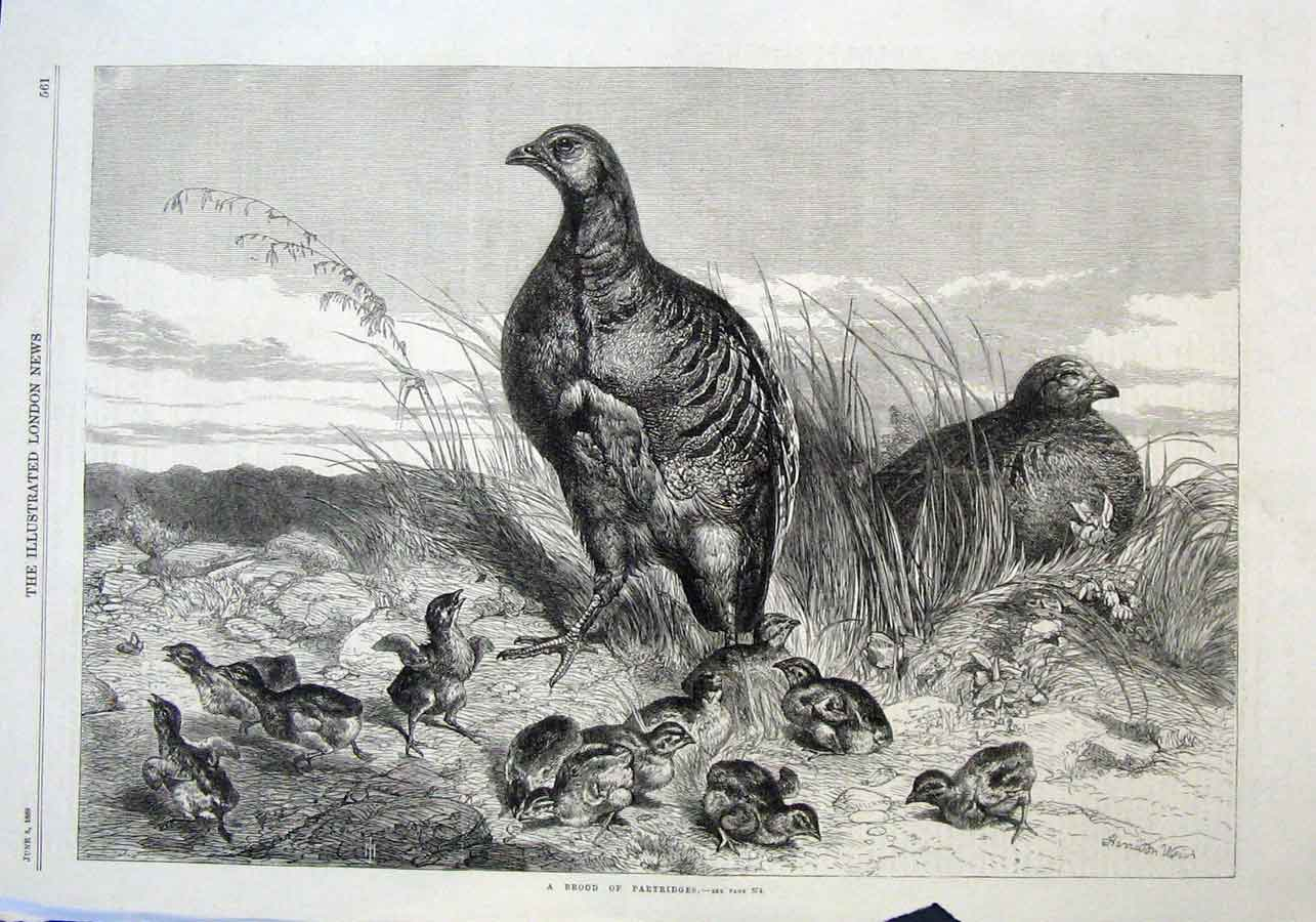 Print Brood Partridges By H Weir 1869 Fine A 61Aaa0 Old Original