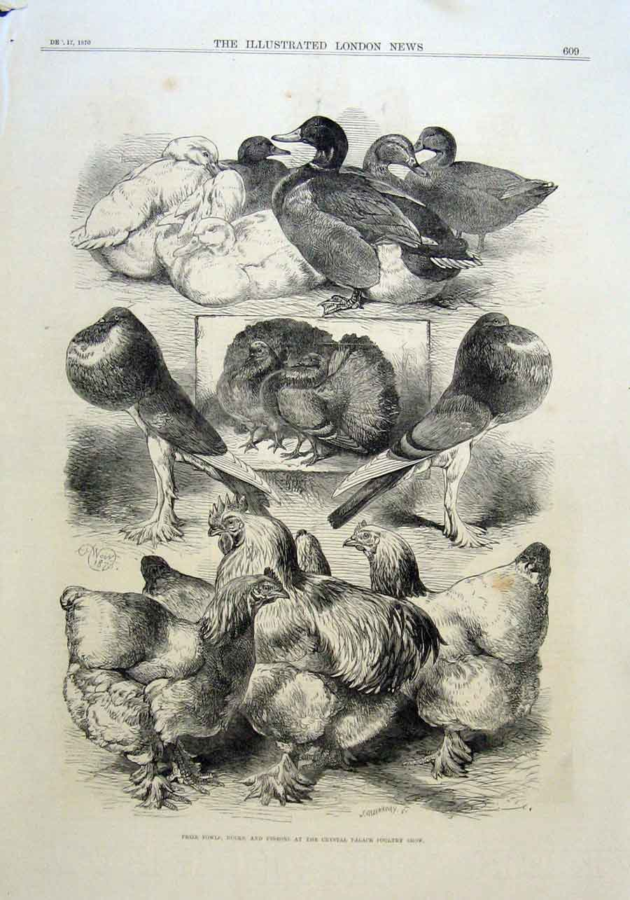 Print Fowls Ducks Pigeons Poultry Show 1870 Lon 09Aaa1 Old Original