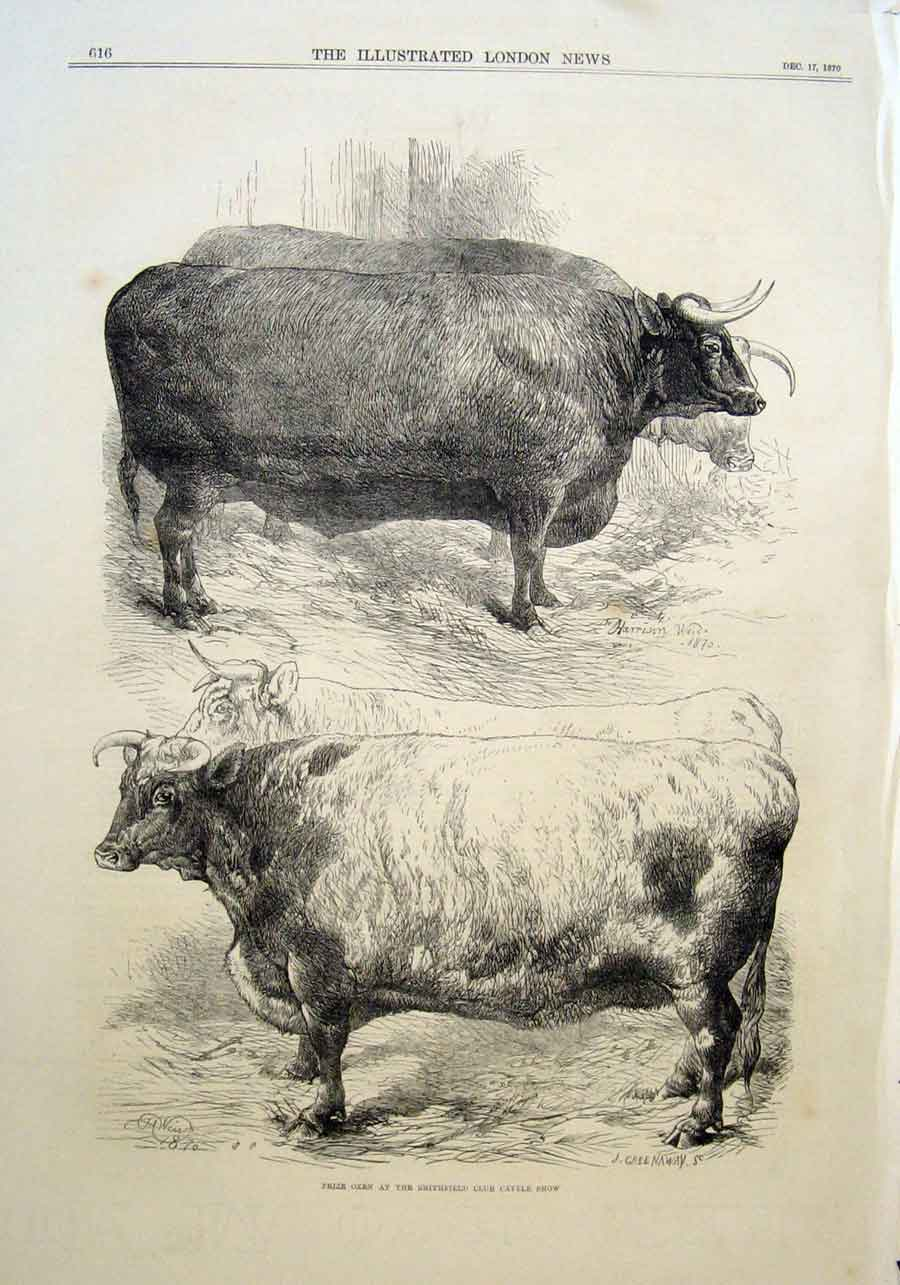Print Prize Oxen At Smithfield Show 1870 16Aaa1 Old Original