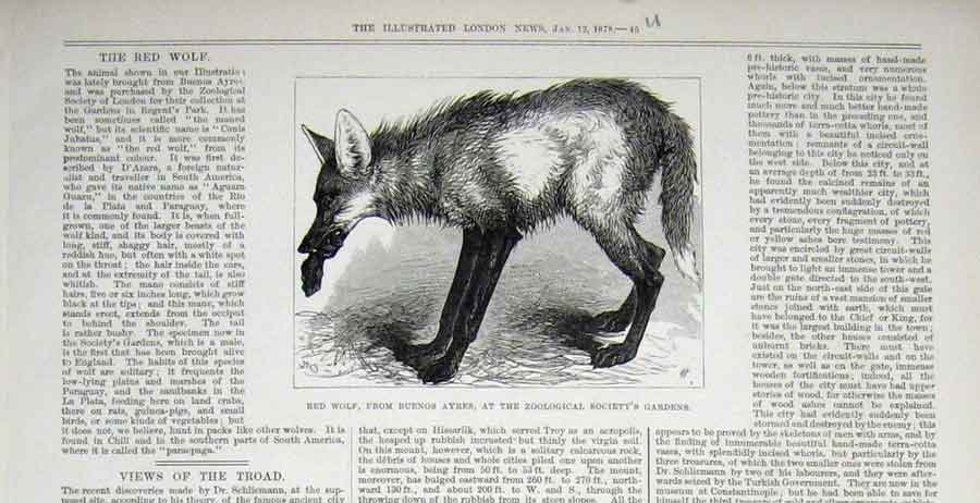 Print Red Wolf Buenos Ayres Zoo Animal 1878 45Uaaa1 Old Original