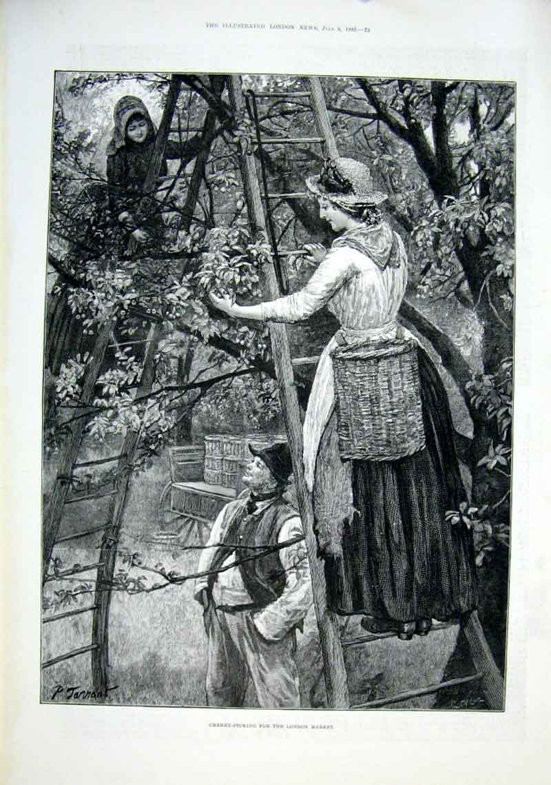 Print Cherry Picking For London Market 1889 Fine Ar 23Aaa1 Old Original