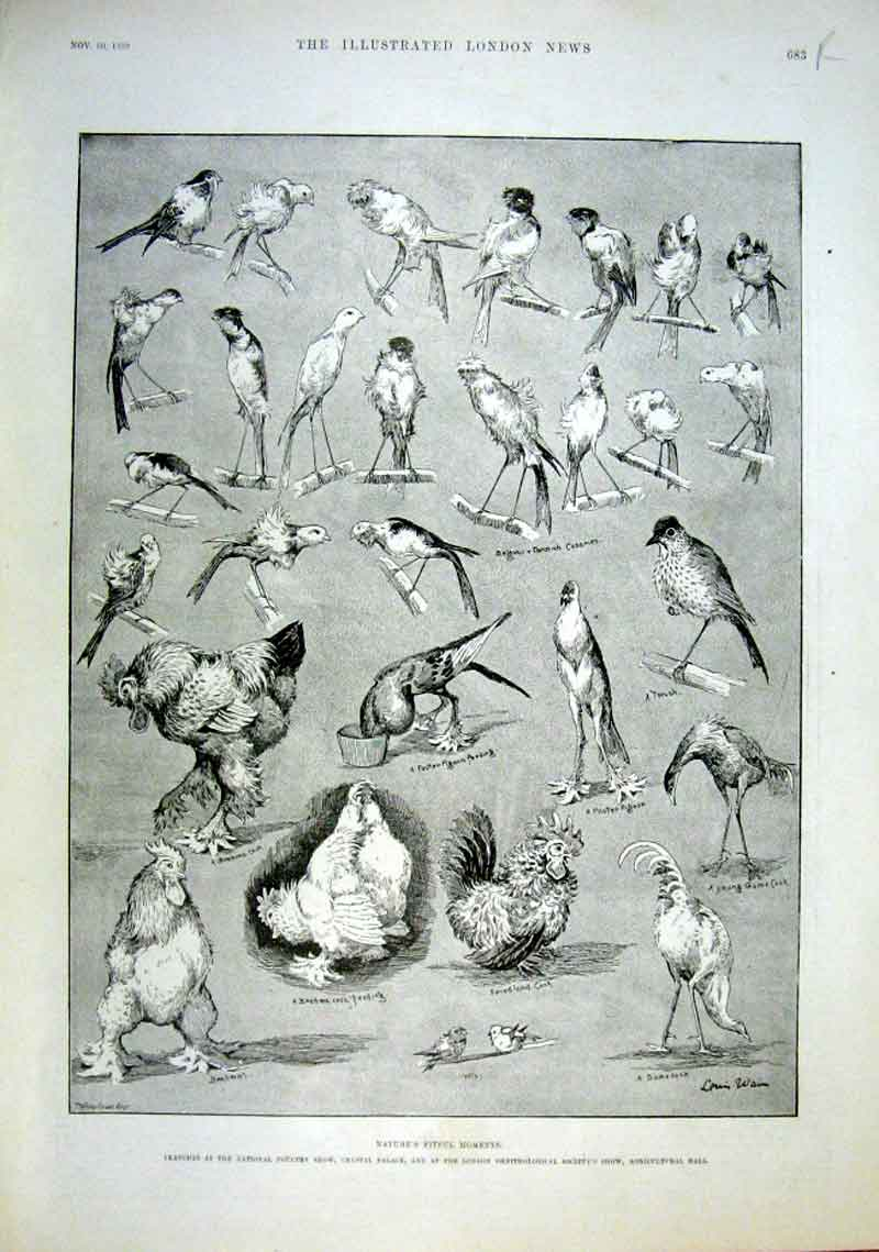 [Print Poultry Show Birds By Wain Portrait Stanley Africa 83Aaa1 Old Original]