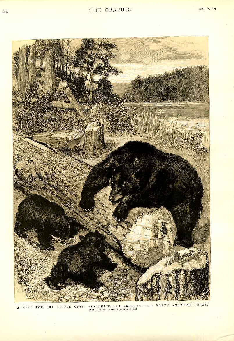 Print Bears Search For Food American Forest 1894 Sepia 54Bbb0 Old Original