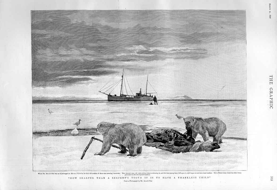 Print Two Bears Eat Their Dead Mother Fine Art 1896 53Bbb0 Old Original