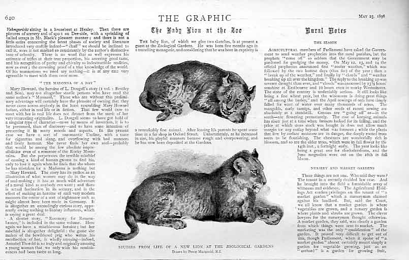 Print Studies Baby Lion At Zoo 1896 40Bbb0 Old Original