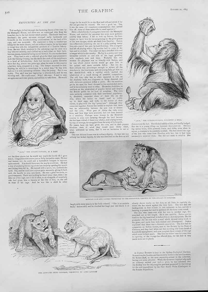 Print Favourite Animals At The Zoo 1893 Ourang Out 16Bbb1 Old Original