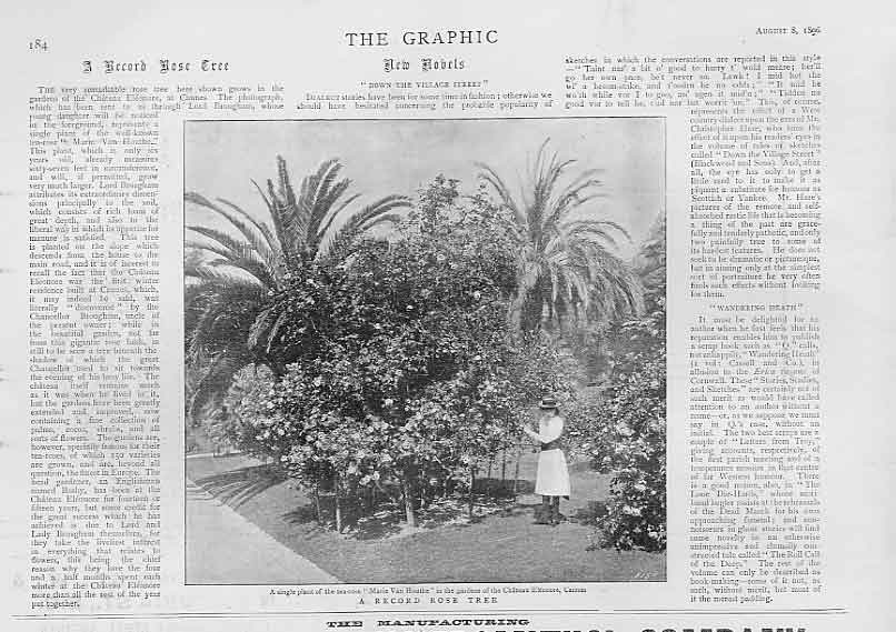 Print A Record Rose Tree 1896 Single Plant 84Bbb1 Old Original
