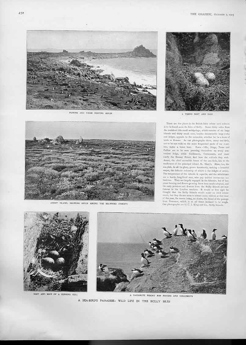 Print Puffins Sea Bird Paradise Scilly Islands 1905 52Bbb1 Old Original