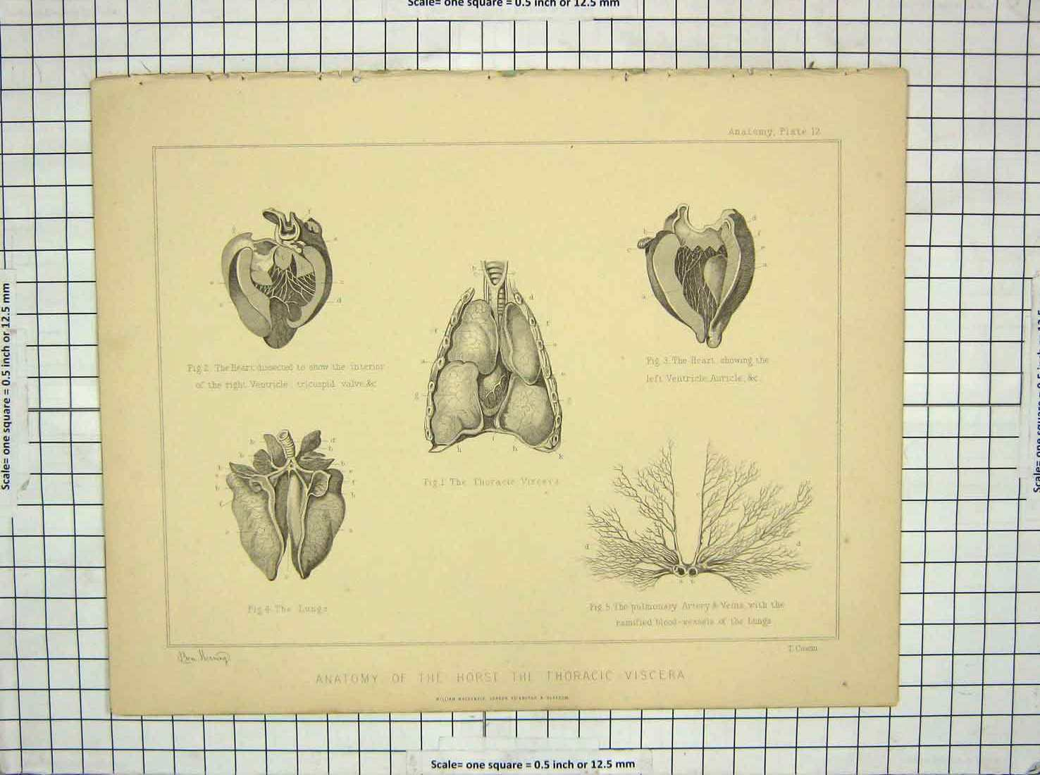 [Print Anatomy Horse Thoracic Viscera Heart Lungs Veins Cowan 139G198 Old Original]