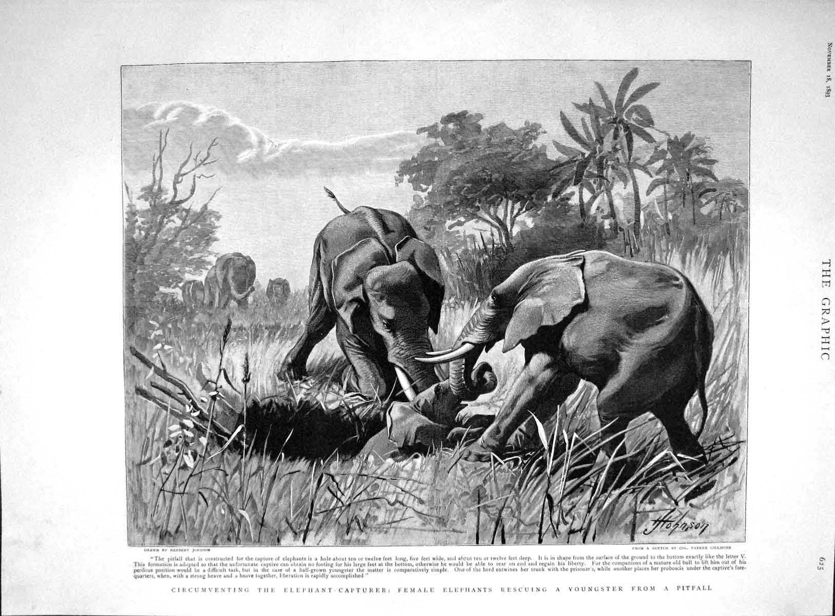 [Print 1893 Female Elephants Rescuing Baby Pitfall Animals 625M148 Old Original]