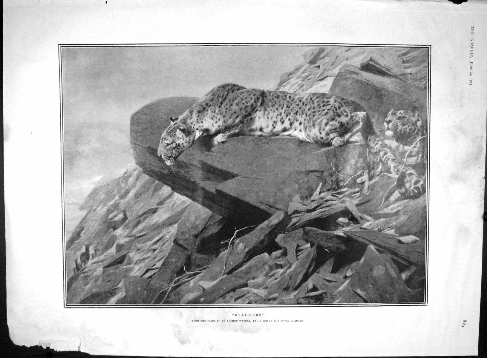 [Print 1903 Stalkers Leopards Hunting Ragging Hayes Fane Pease 865M167 Old Original]