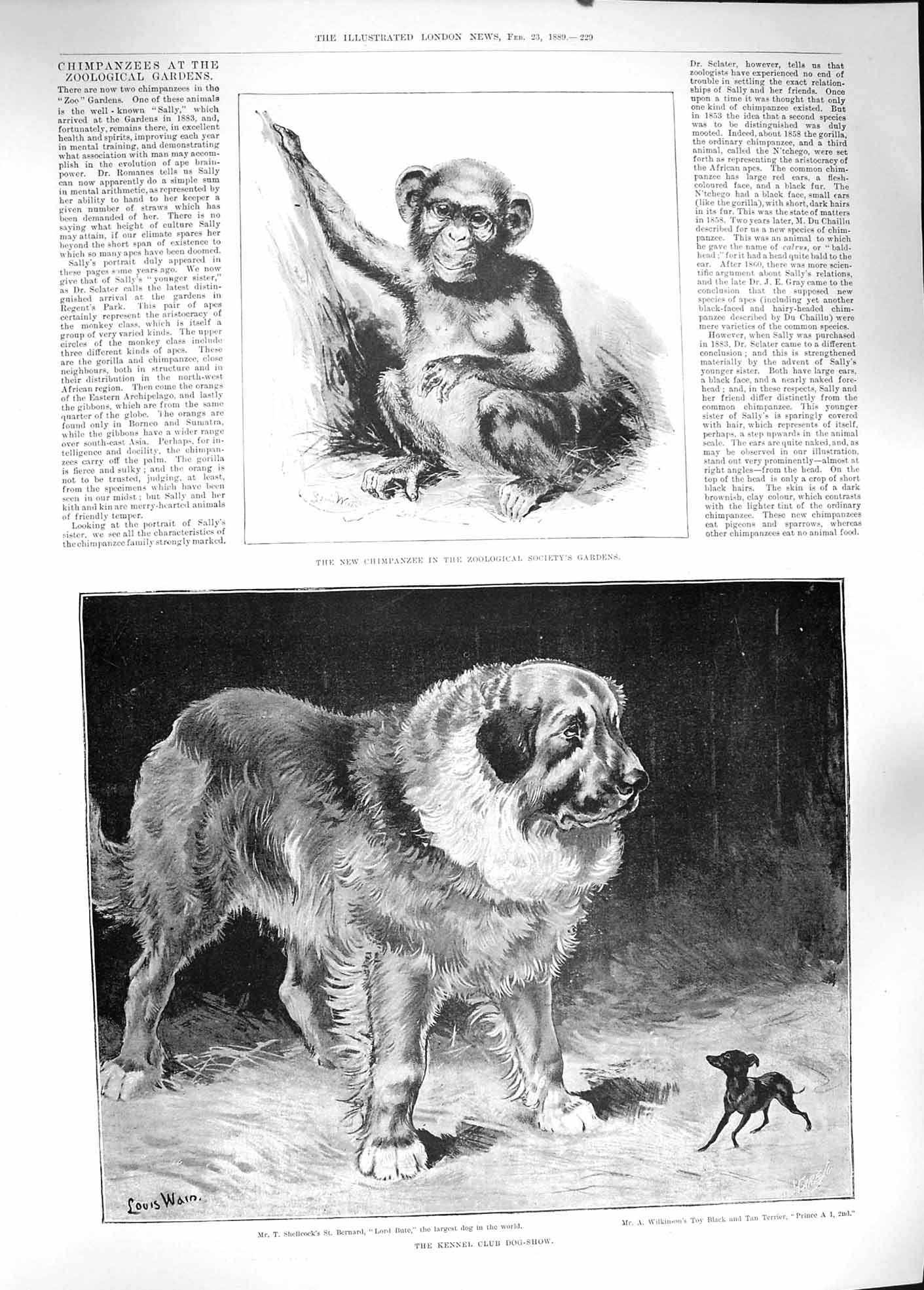 [Print 1889 Chimpanzee Zoological Kennel Club Dog Show Wain 229P194 Old Original]
