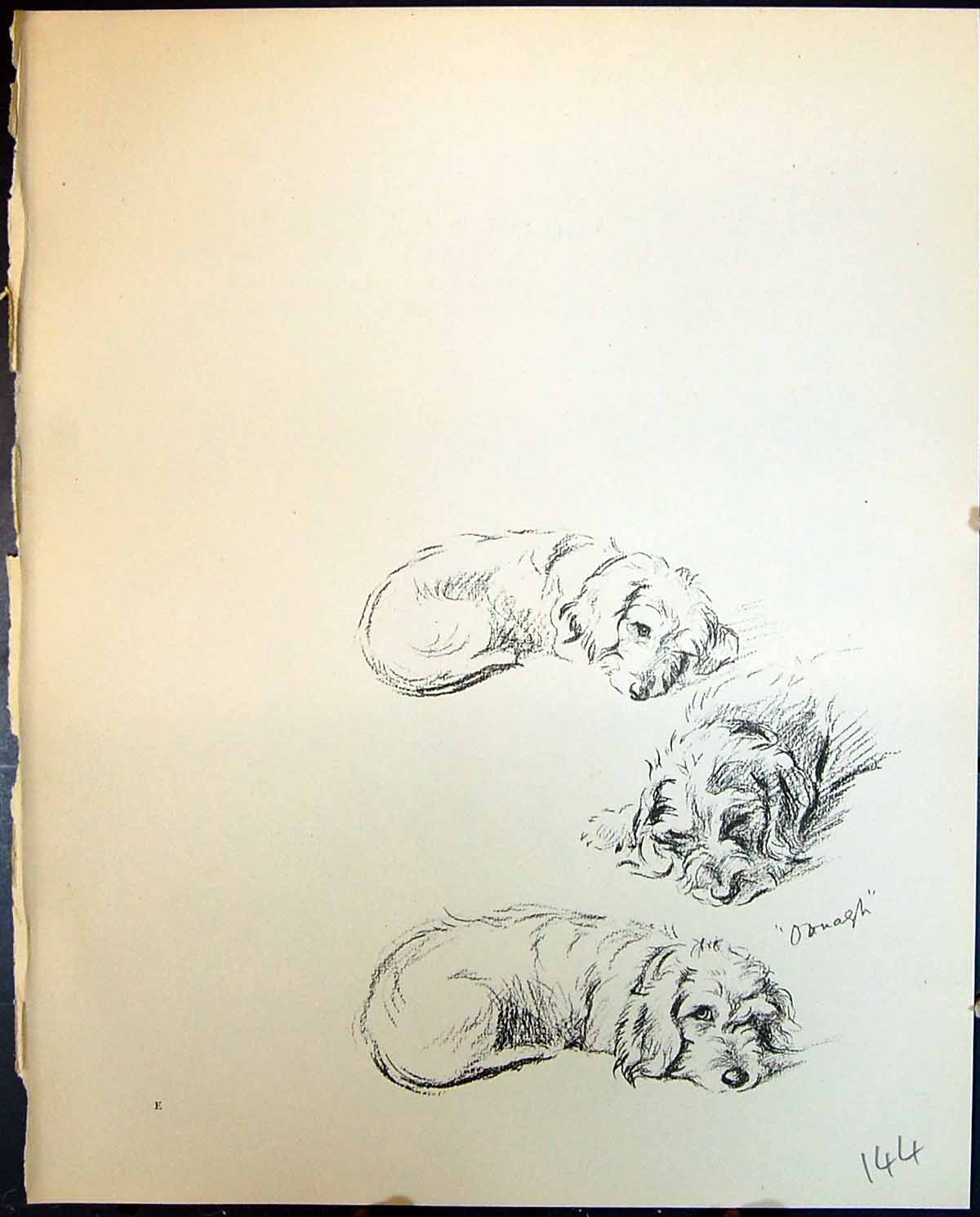 [Print Oonagh Terrier Sleeping Pet Dogs Animals Lucy Dawson 1936 Ref.2 144G344 Old Original]